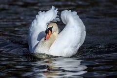 Um esporte de barco masculino da mostra da cisne muda imagem de stock royalty free