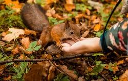 Um esquilo alimentou da mão em um parque Fotos de Stock Royalty Free