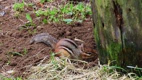 Um esquilo aparece, escava, e noivos filme