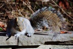 Um esquilo cinzento Imagem de Stock