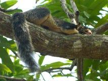 Um esquilo cinzento descansa em uma árvore fotos de stock