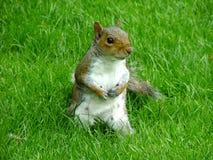 Um esquilo cinzento em um parque Imagem de Stock