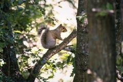 Um esquilo cinzento escala um ramo em uma floresta Fotos de Stock Royalty Free