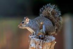 Um esquilo cinzento que forrageia em um cargo da cerca imagens de stock royalty free