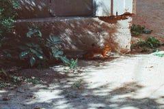Um esquilo corre através da estrada foto de stock royalty free
