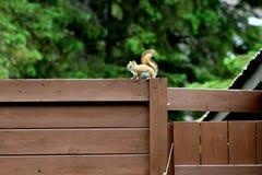 Um esquilo curioso na casa de campo foto de stock royalty free