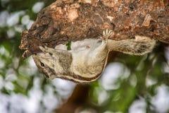 Um esquilo de cabeça para baixo Fotos de Stock
