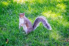 Um esquilo de Fox em Albany, New York imagem de stock royalty free