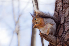 Um esquilo em uma árvore Foto de Stock