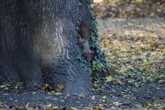 Um esquilo livra no selvagem Imagem de Stock
