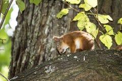 Um esquilo na árvore imagens de stock royalty free