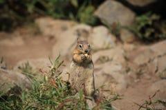 Um esquilo na pedra amarela imagens de stock royalty free