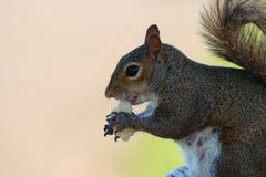 Um esquilo no parque imagens de stock