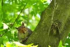 Um esquilo olha a câmera Imagem de Stock