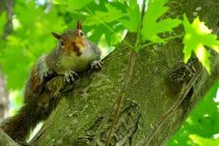 Um esquilo olha a câmera Foto de Stock