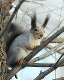 Um esquilo olha inquiringly no fotógrafo ao guardar o fotos de stock