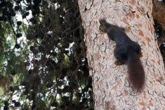 Um esquilo peludo marrom senta-se em um grande pinheiro em um parque Roedor bonito fotografia de stock