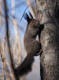 Um esquilo pequeno seguro não tem nenhum medo no seu/seu território Fotografia de Stock Royalty Free