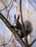 Um esquilo pequeno seguro não tem nenhum medo no seu/seu território Imagem de Stock Royalty Free