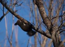 Um esquilo pequeno seguro não tem nenhum medo no seu/seu território Imagens de Stock