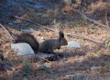Um esquilo pequeno seguro não tem nenhum medo no seu/seu território Imagens de Stock Royalty Free