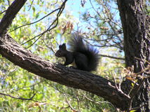 Um esquilo preto Fotos de Stock