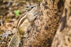 Um esquilo que escala acima a árvore Fotos de Stock Royalty Free