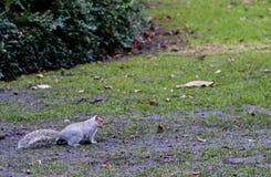 Um esquilo que está alerta na grama Foto de Stock Royalty Free