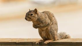 Um esquilo vermelho americano curioso Fotos de Stock