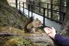 Um esquilo vermelho corajoso na natureza Imagens de Stock