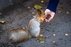 Um esquilo vermelho que come porcas de uma mão dos woman's na passagem no parque no outono Imagem de Stock