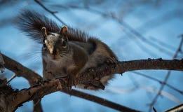 Um esquilo vermelho segue-me em torno de onde vive nas madeiras perto de uma casa de campo Fotos de Stock Royalty Free