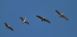 Um está dançando fora da fileira - pelicanos Costa-Rica Foto de Stock