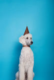 Um estúdio disparou de um cão que veste um chapéu do partido Caniche real Retrato do estúdio sobre o fundo azul Imagens de Stock