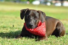 Um estabelecimento de Staffordshire americano Terrier do híbrido Imagem de Stock Royalty Free