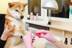 Um esteticista trata pregos dos cães de Sibu Inu fotos de stock