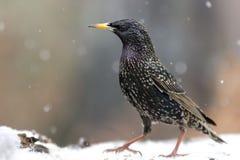 Um estorninho parece irritado durante a queda de neve invernal Fotos de Stock Royalty Free