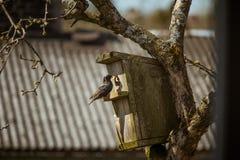Um estorninho preto bonito com uma casa do pássaro em uma árvore de maçã Imagem de Stock