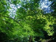 Um estudo no verde - árvores contra um céu azul Imagem de Stock