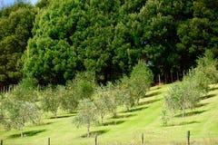 Um europaea do Olea do bosque verde-oliva entre o rolamento de montes verdes; a floresta densa no fundo protege oliveiras dos ven fotos de stock
