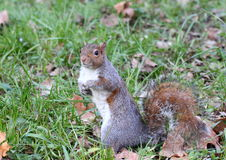 Um exemplo agradável de um esquilo Fotografia de Stock Royalty Free