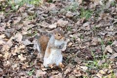 Um exemplo agradável de um esquilo Fotografia de Stock