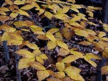 Um fã da queda das folhas amarelas fotos de stock royalty free
