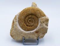 Um fóssil da amonite fotografia de stock royalty free