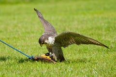 Um falcão no captiveiro imagem de stock