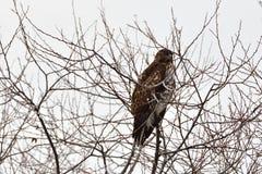 Um falcão que esconde na parte superior da árvore Foto de Stock