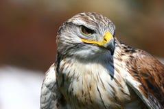 Um falcão Vermelho-atado observador   Imagem de Stock