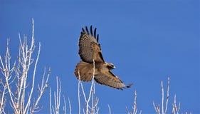 Um falcão vermelho da cauda que voa apenas sobre os ramos de árvore fotos de stock royalty free