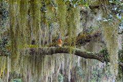 Um falcão Vermelho-empurrado senta-se quietamente em um membro de carvalho musgo-coberto lerge em uma conserva de natureza norte  fotos de stock