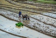 Um fazendeiro com o búfalo de água no campo fotos de stock